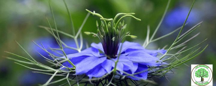 La nigelle la seule plante au monde riche en thymoquinone